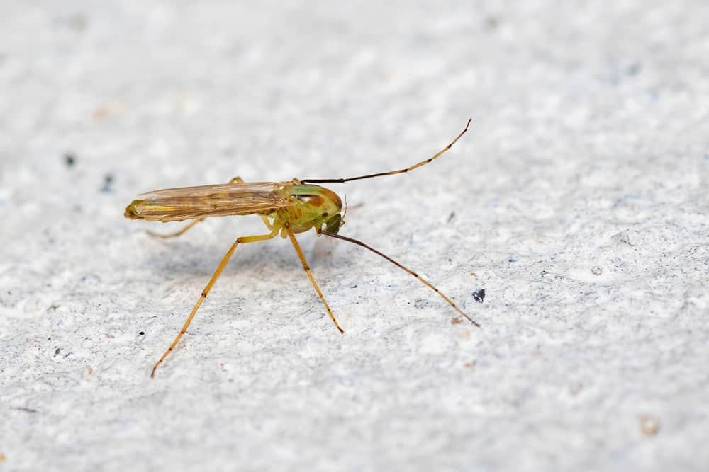 A close-up view of a non-biting midge.