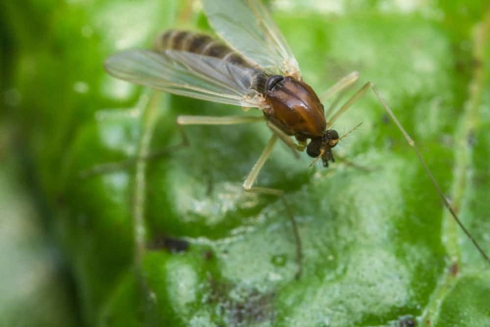 A close-up image of a small sand fly on a green leaf.