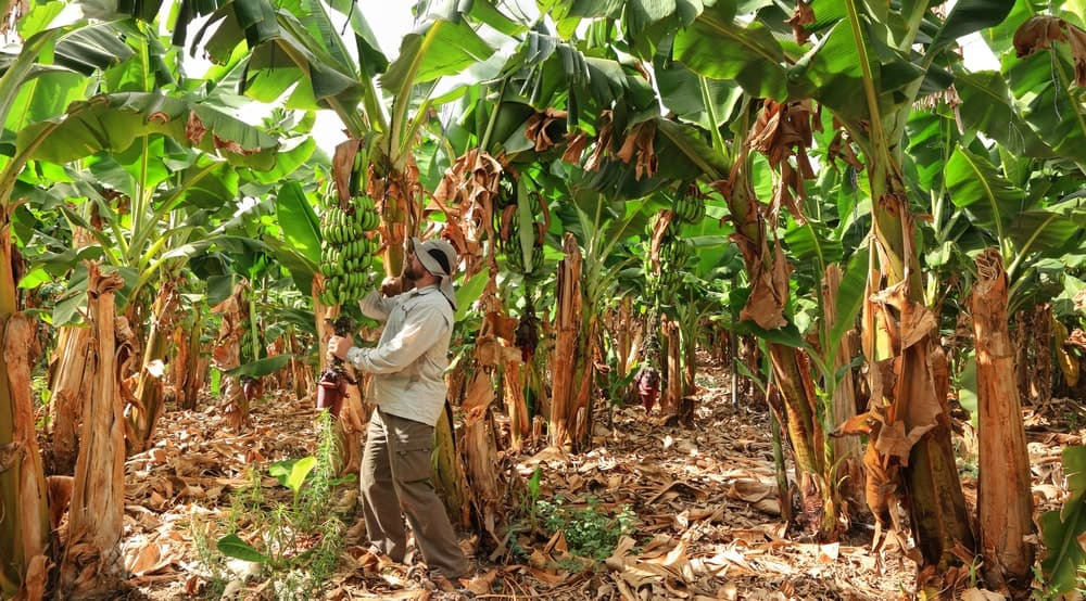 Bunches of goldfinger bananas being harvested.