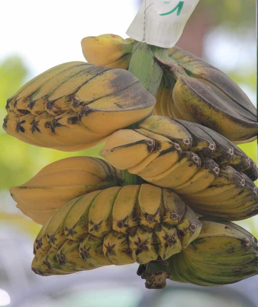 A close look at bunches of saba bananas.
