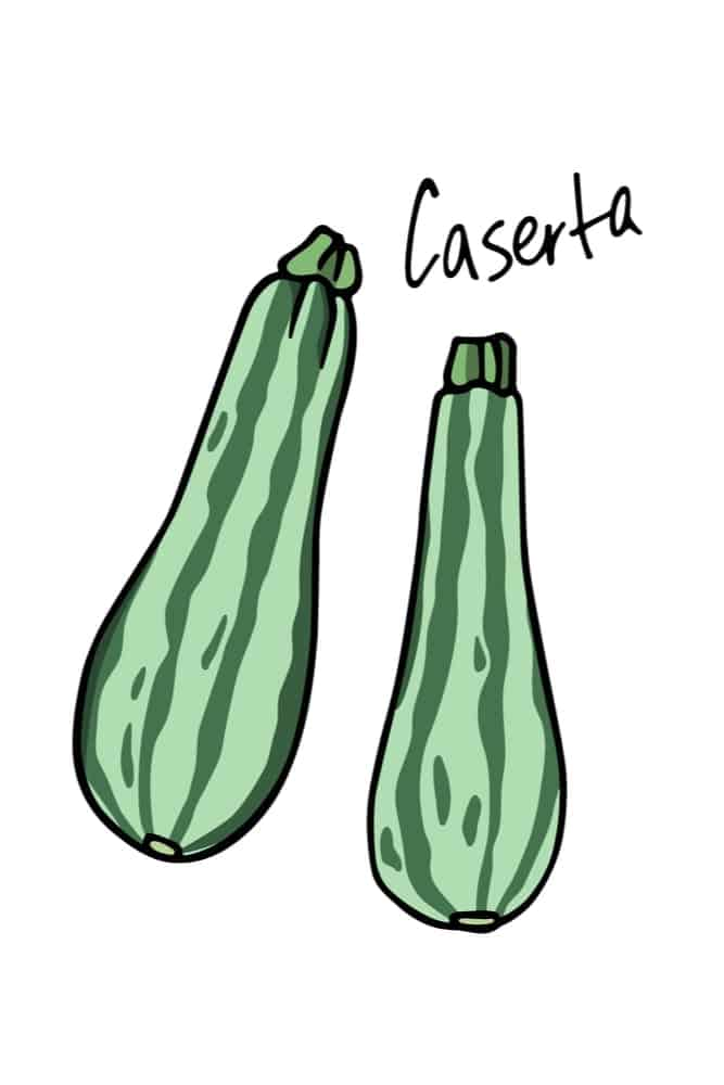 An illustration of caserta zucchinis.