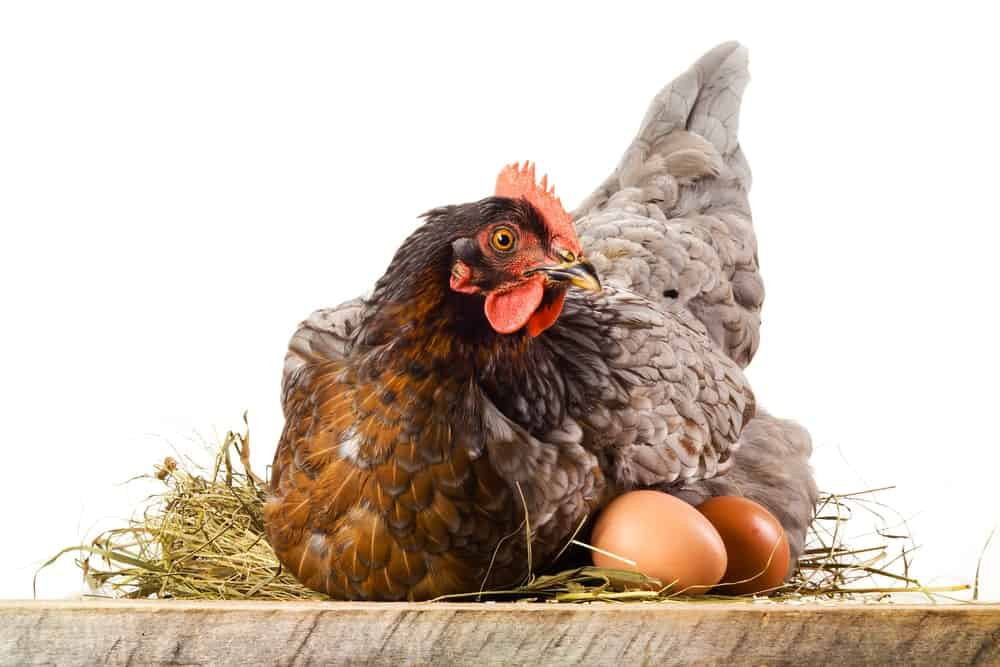 A live chicken with its eggs.