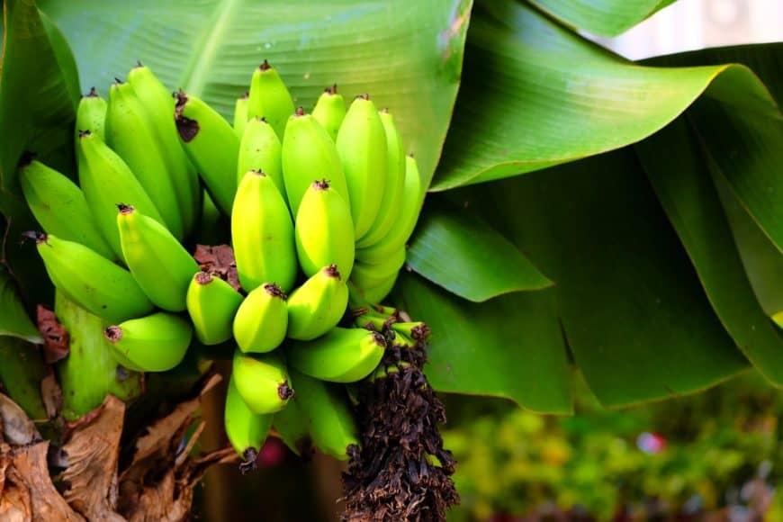 A bunch of bright green dwarf cavendish bananas.