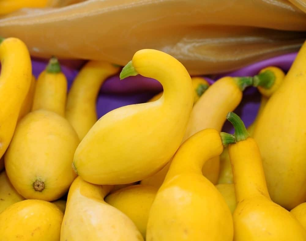A close up of a bunch of gourmet gold zucchinis.