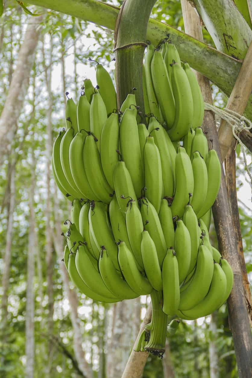 Bunches of giant cavendish bananas.