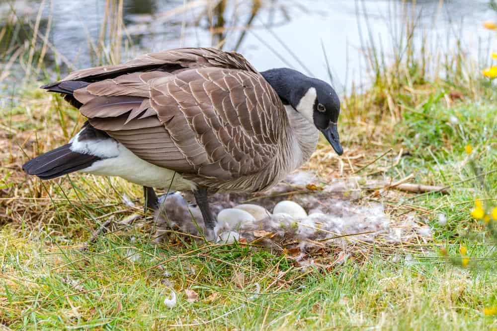 A live goose with its eggs.
