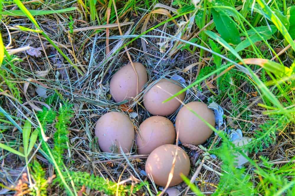 A close look at a set of pheasant eggs.