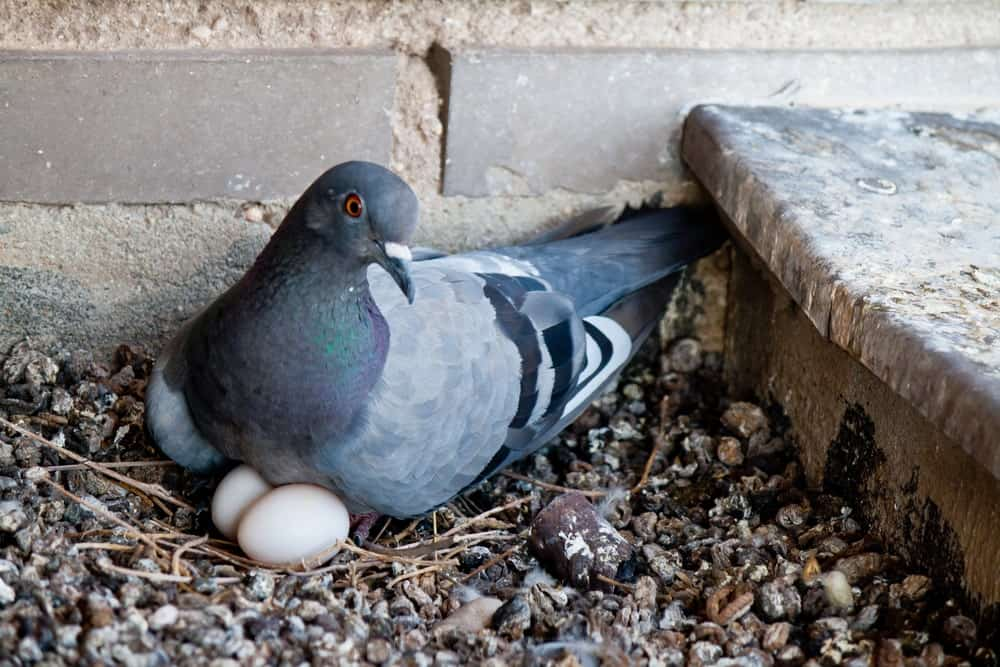 A live pigeon with its eggs.
