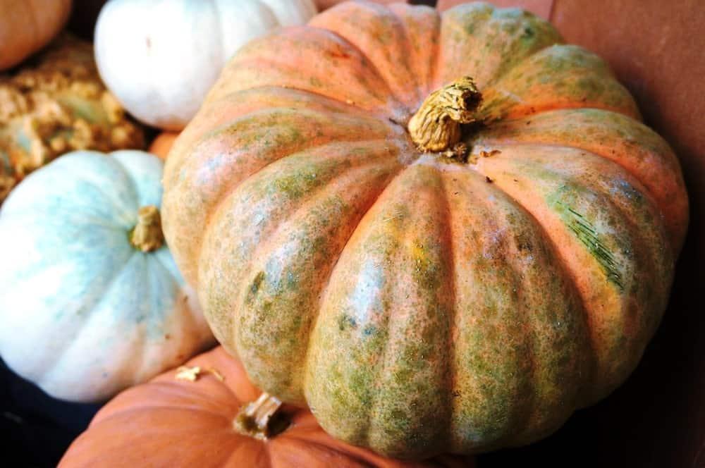 Calabaza squash fruit
