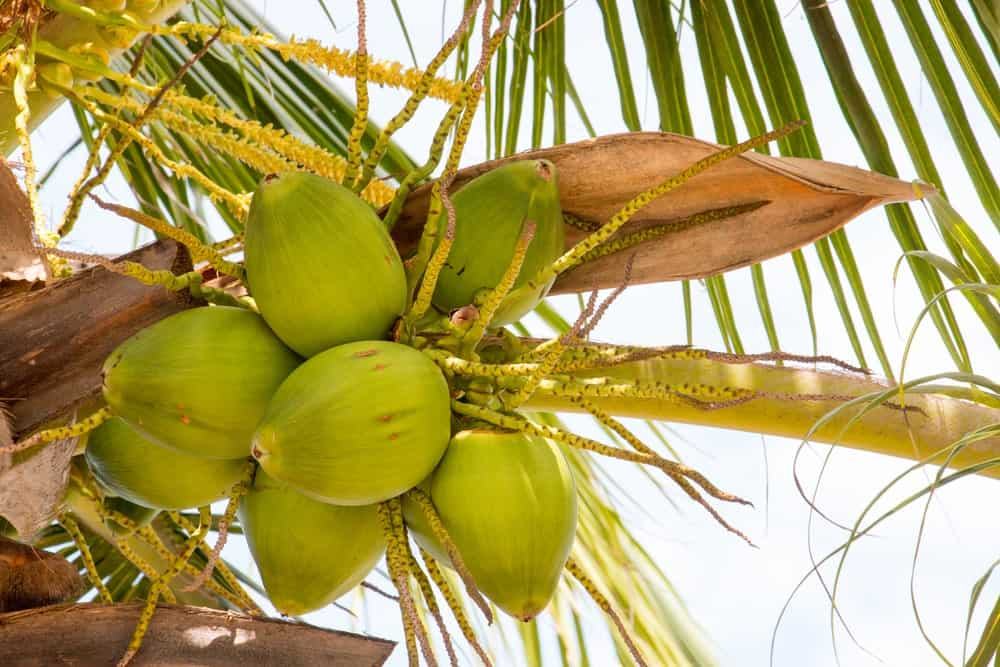 A bunch of coconuts up the tree.