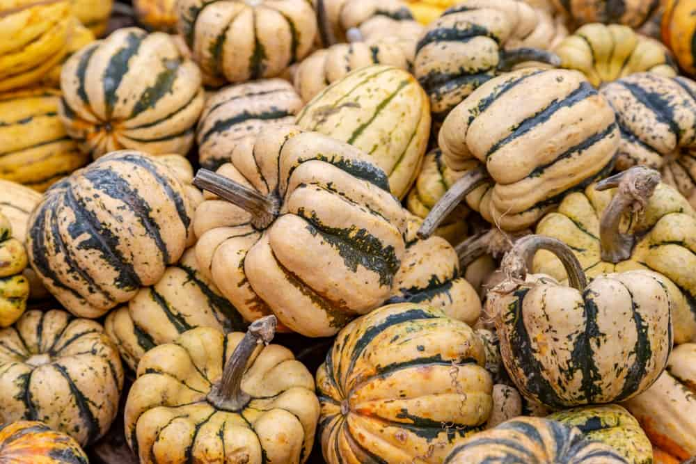 A bunch of dumpling squash