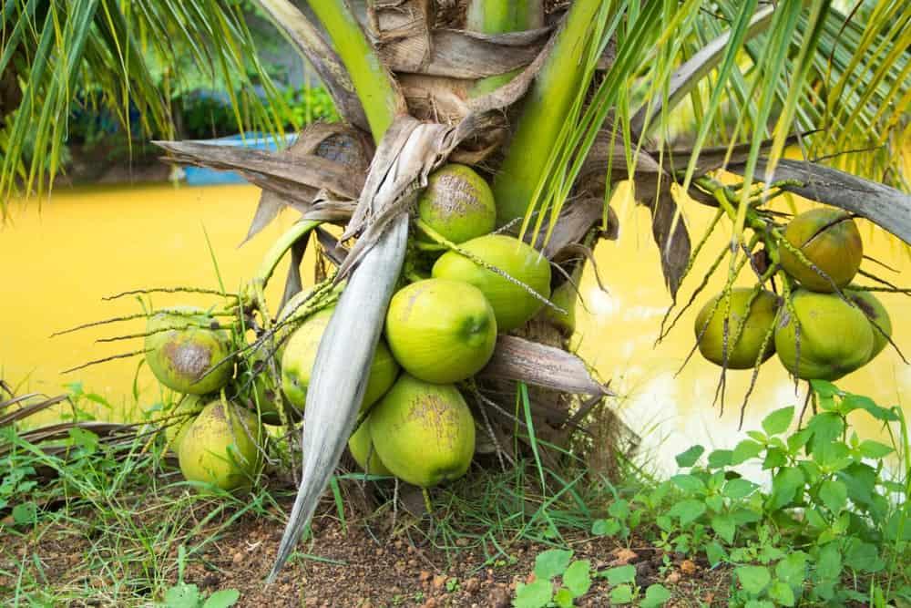 A close look at a dwarf coconut tree.