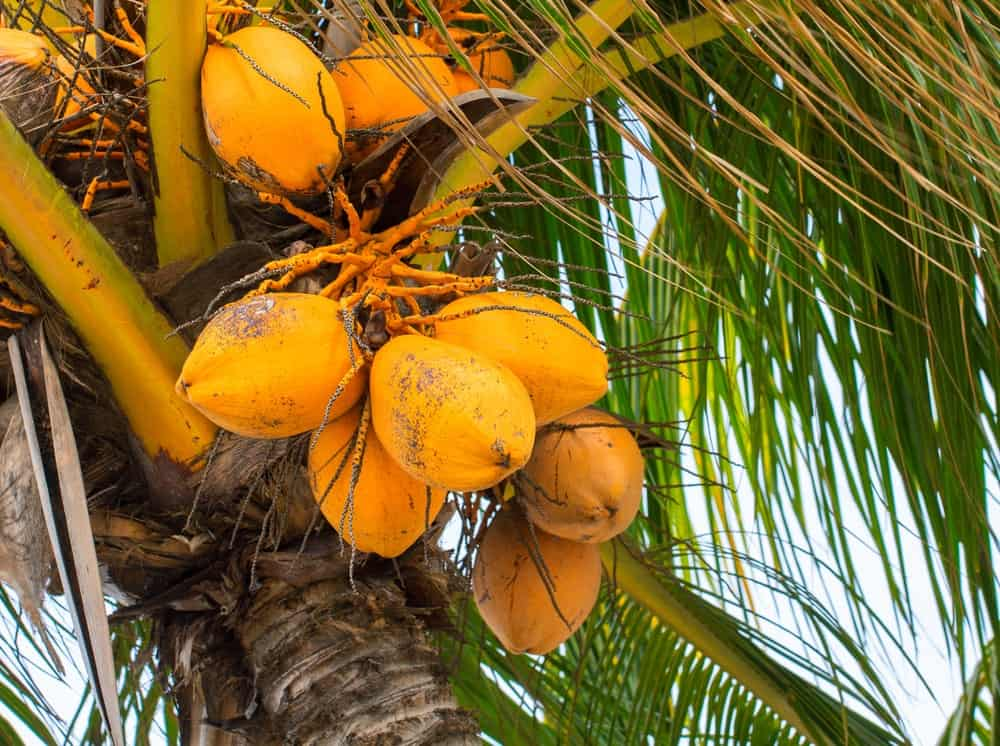 A look at Dwarf Orange Coconuts