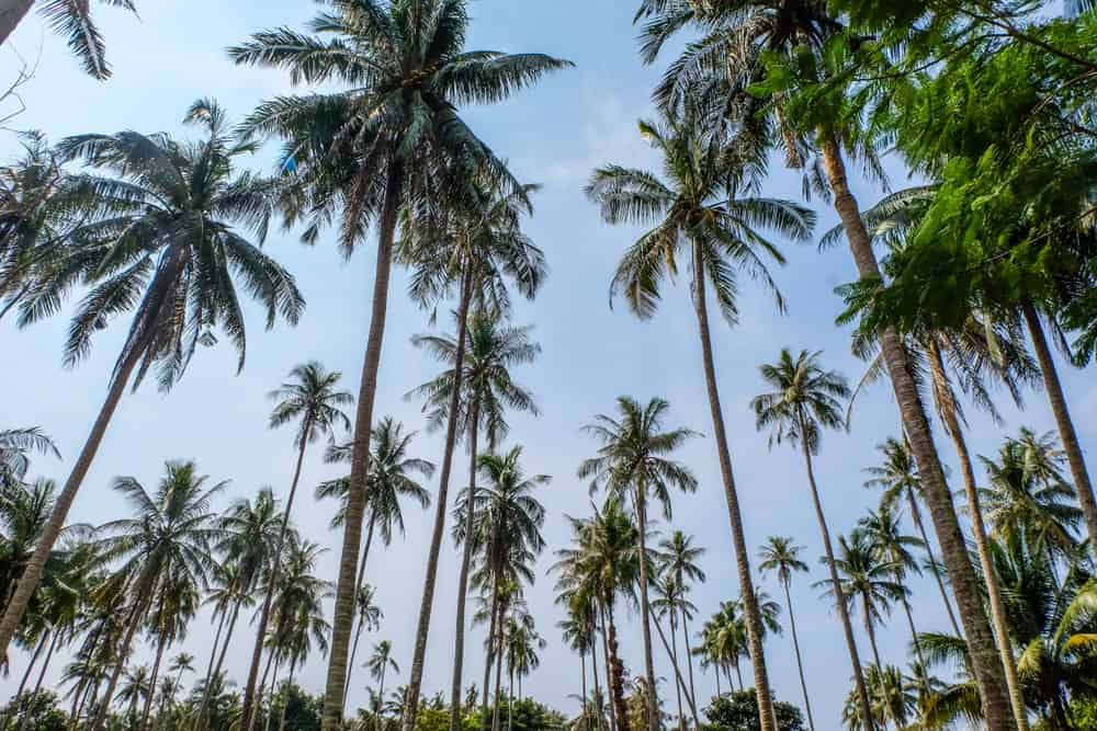 A bunch of East Coast Tall Coconut trees.
