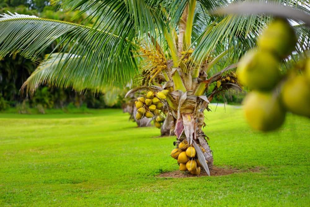 A row of Fiji Dwarf Coconut Trees.