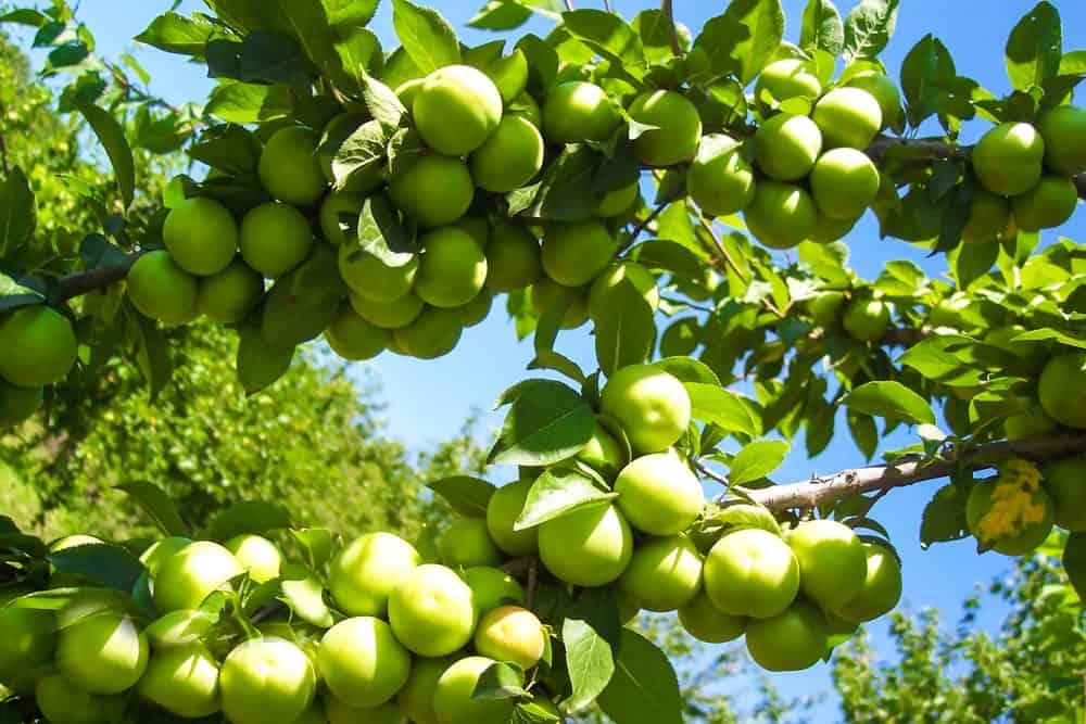 Dojrzałe i żywe śliwki Greengage na drzewie