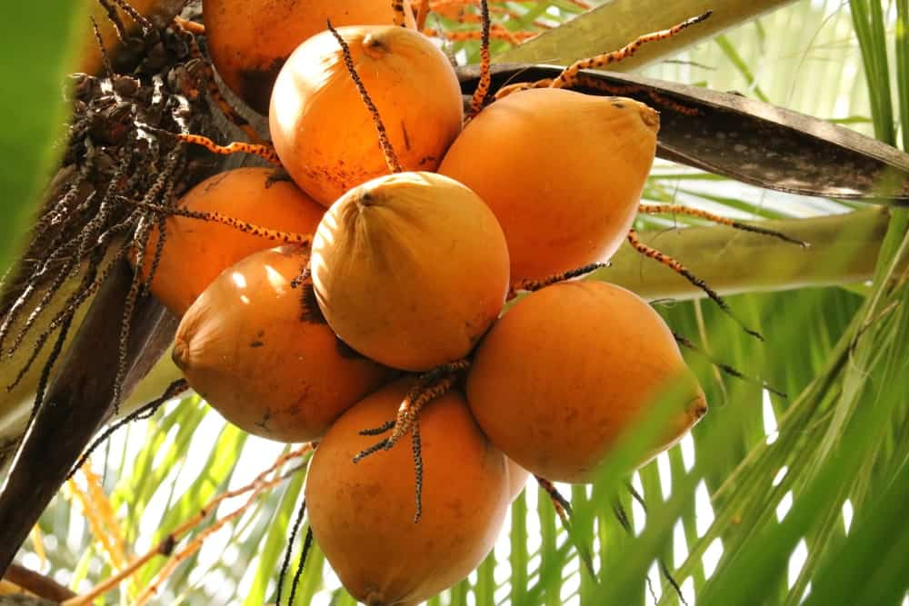 A cluster of King Coconuts.