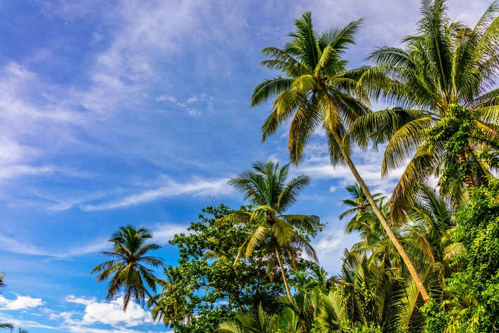 A bunch of tall coconut trees.