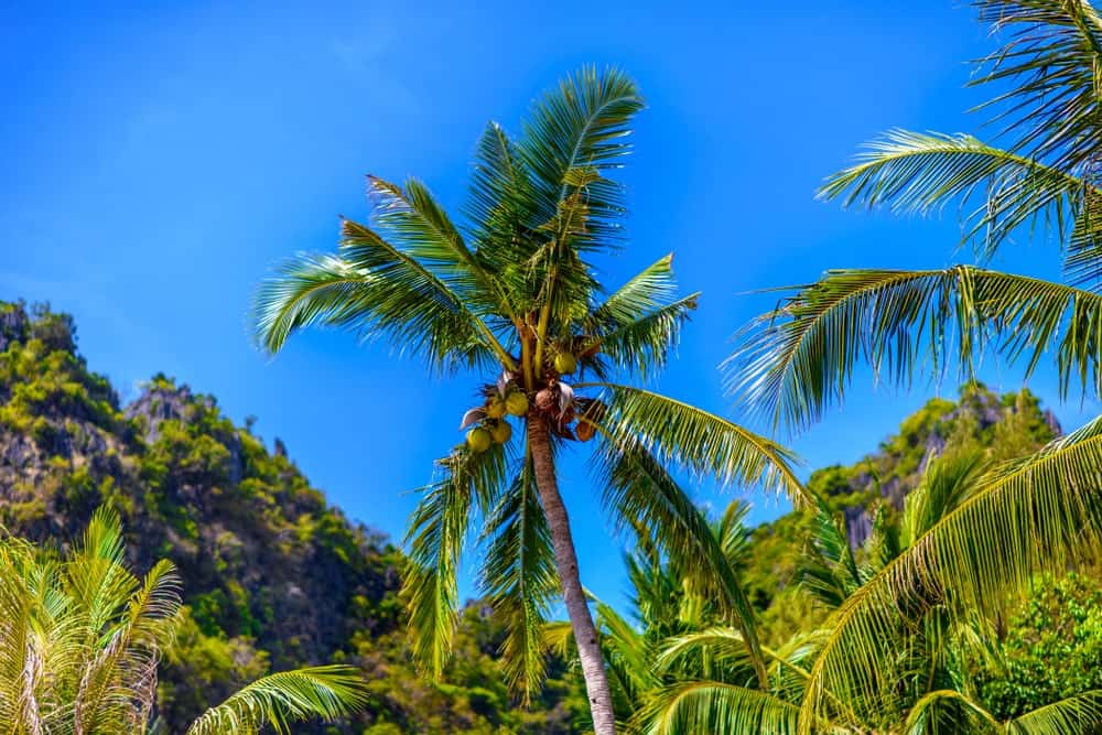 A bunch of West Coast Tall Coconut trees.