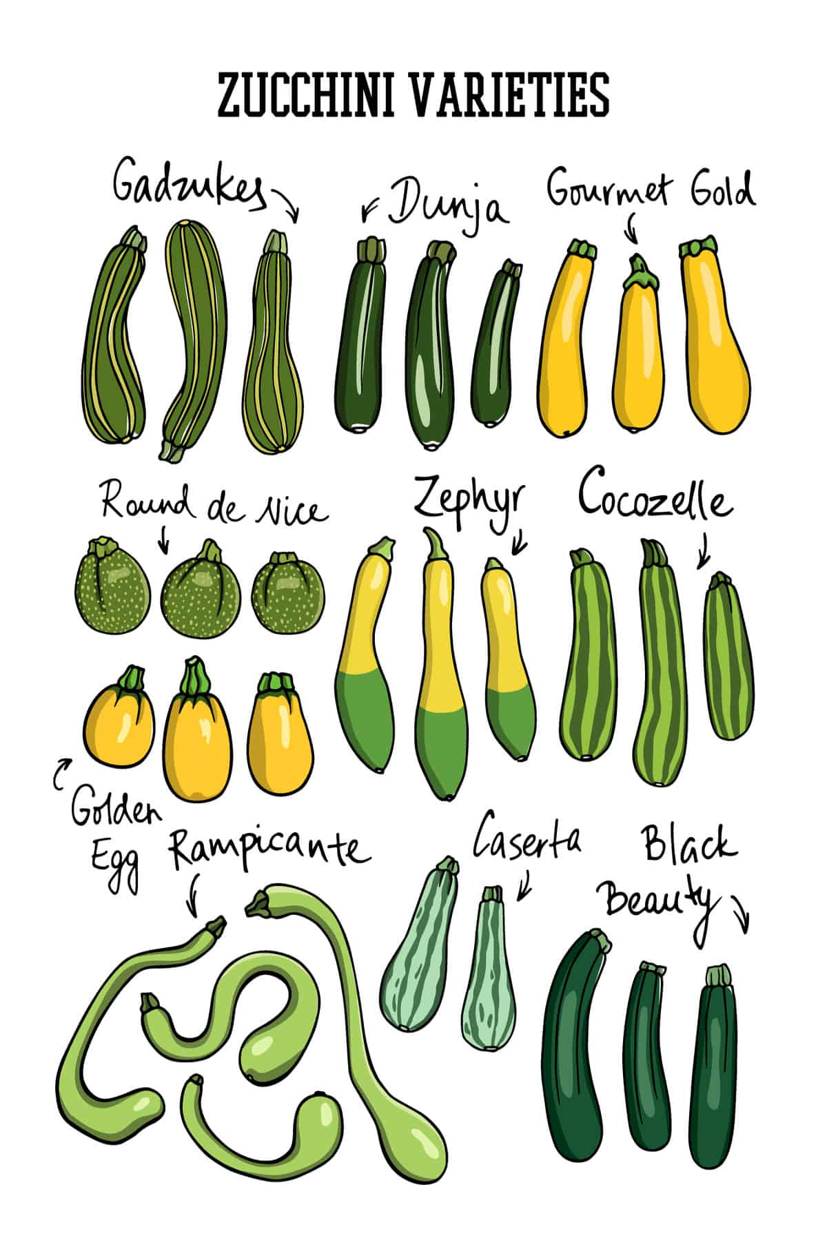 A chart showing the types of zucchini.