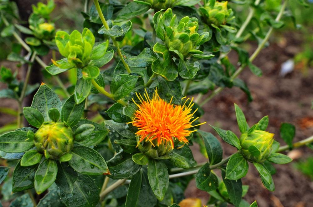 False Saffron (Carthamus tinctorius)