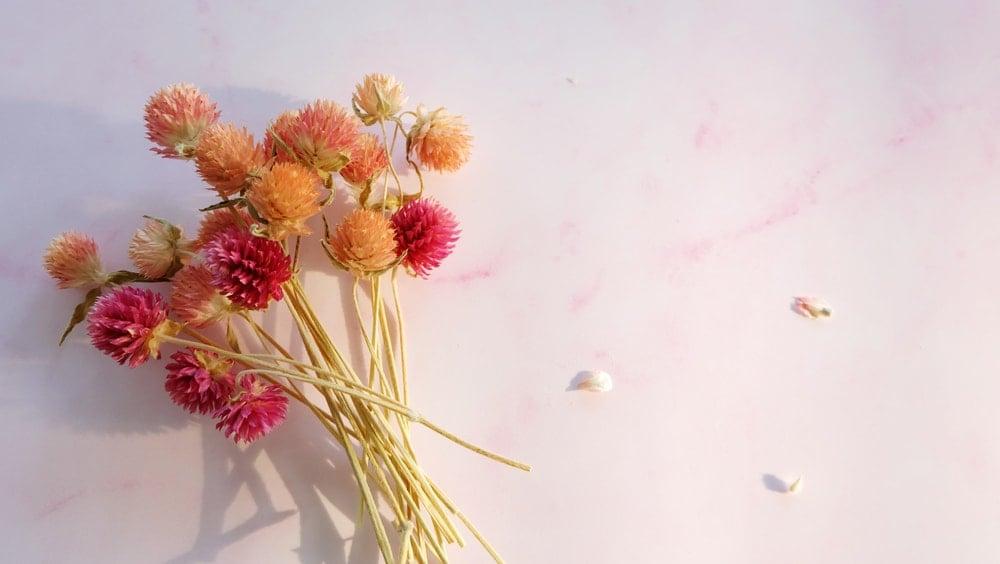 Dried Globe Amaranth (Gomphrena globosa)