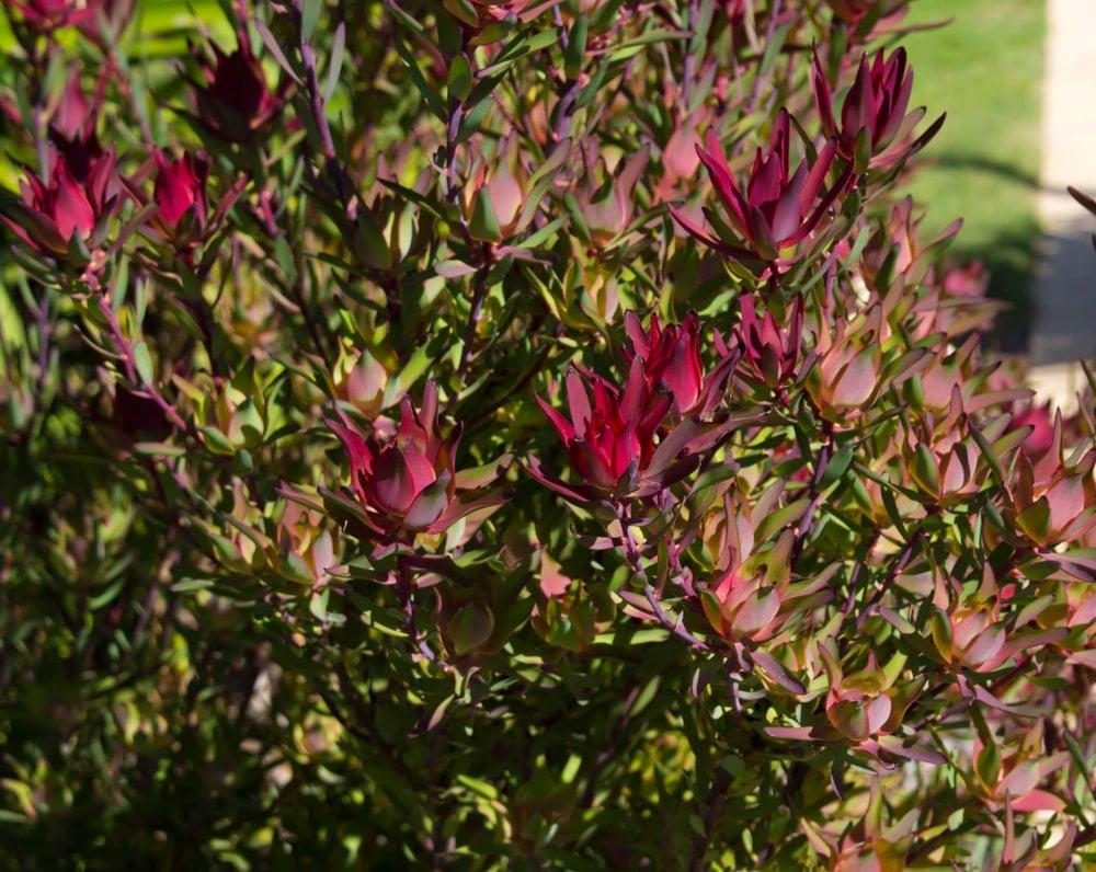Conebush (Leucadendron)
