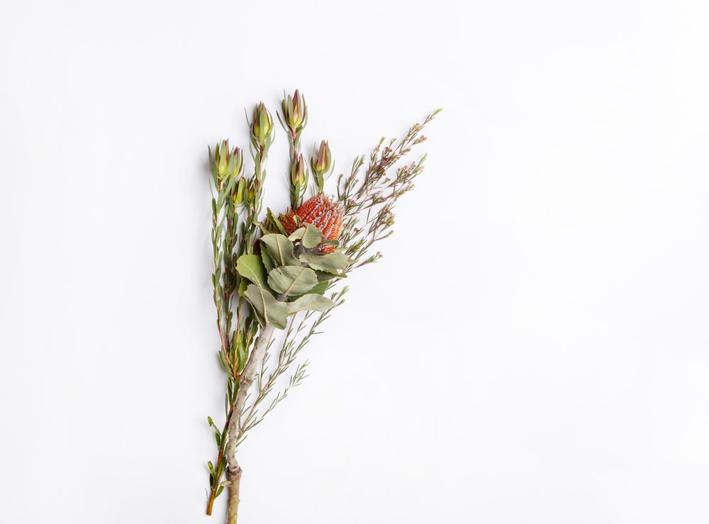 Dried Conebush (Leucadendron)