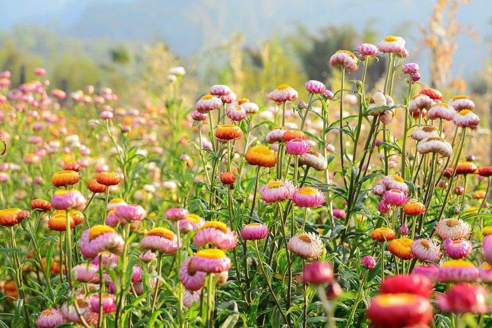 Strawflower (Helichrysum bracteatum)