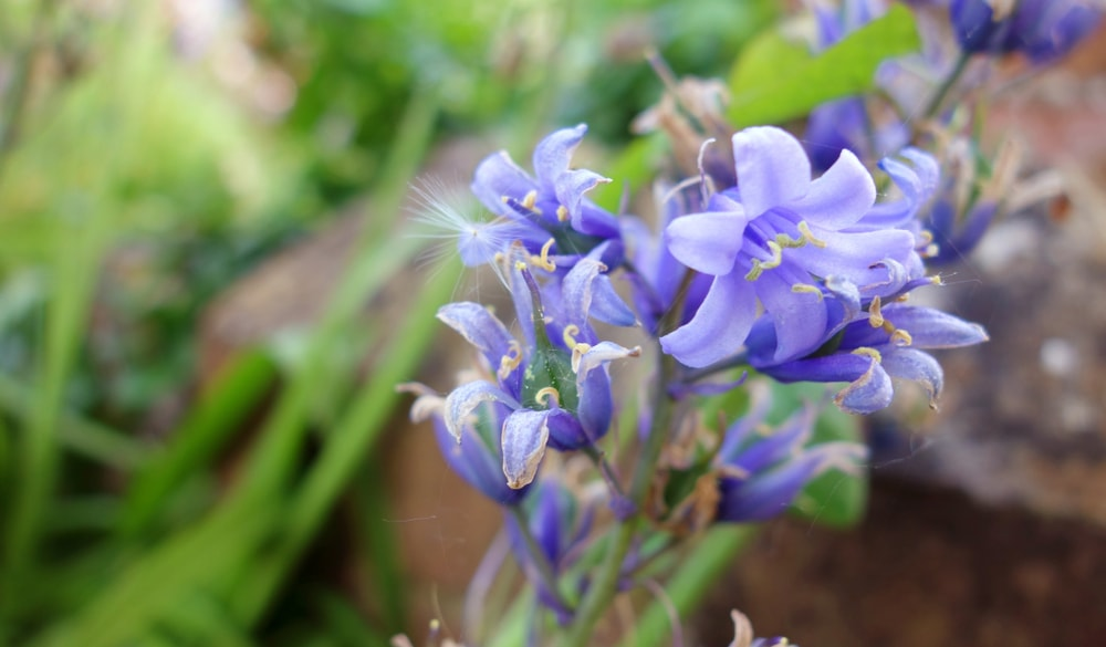 Bluebell (Campanula rotundifolla)