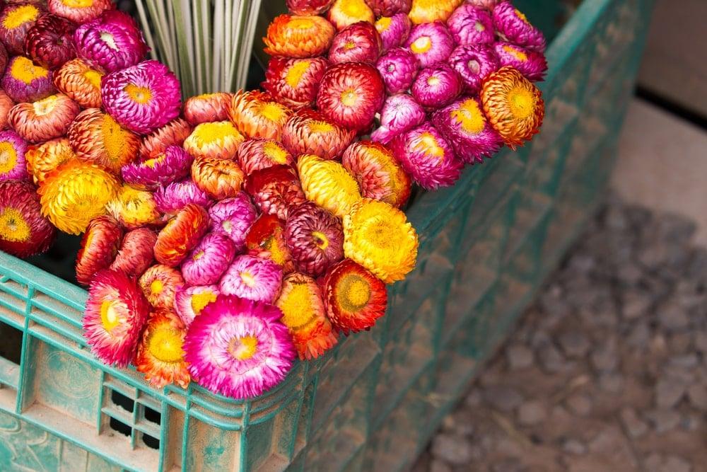 Dried Strawflower (Helichrysum bracteatum)