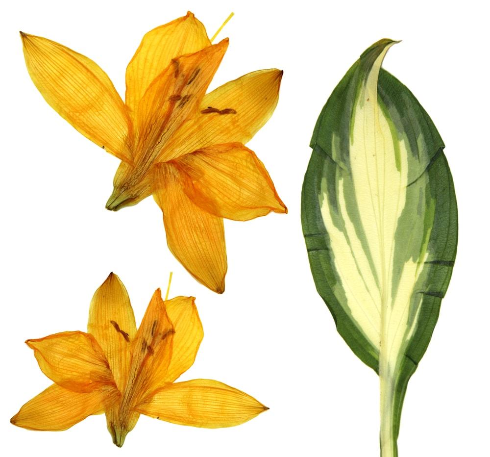 Dried Orange Lily (Lilium bulbiferum var. croceum)