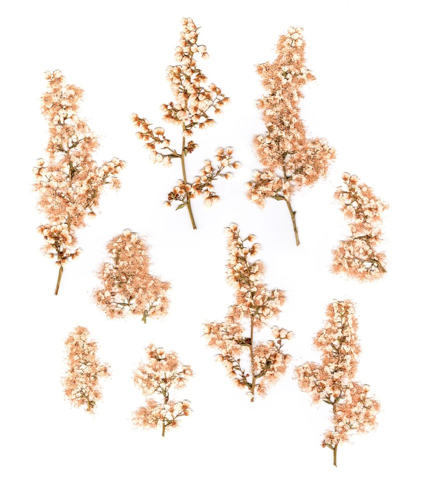 Dried Yarrow (Achillea)
