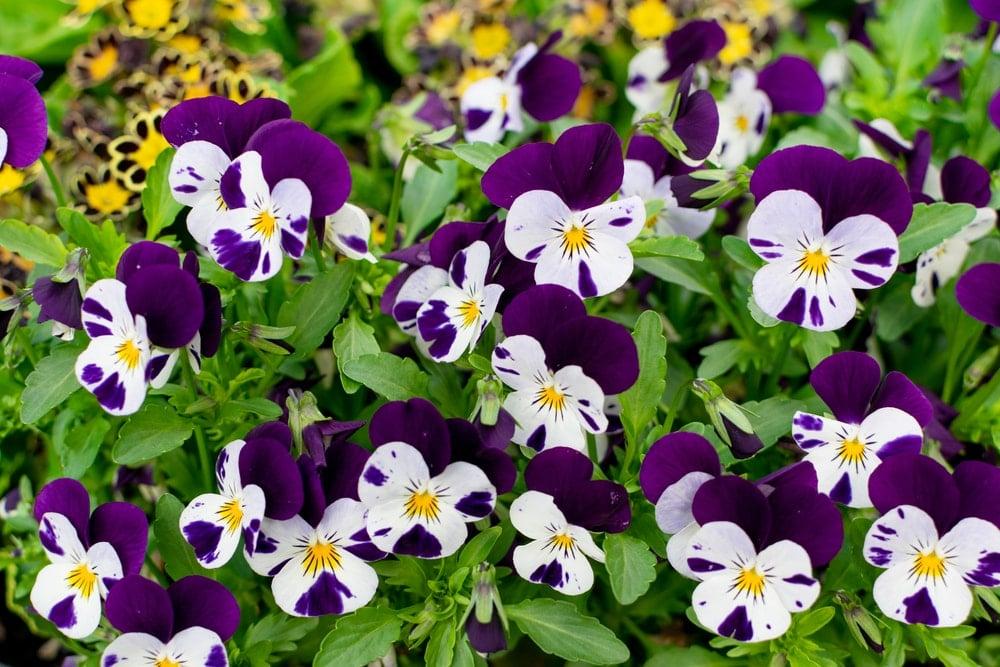 Viola (Viola sororia)