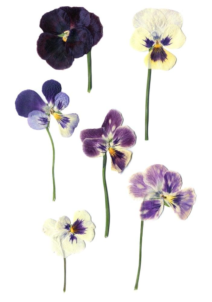 Dried Viola (Viola sororia)