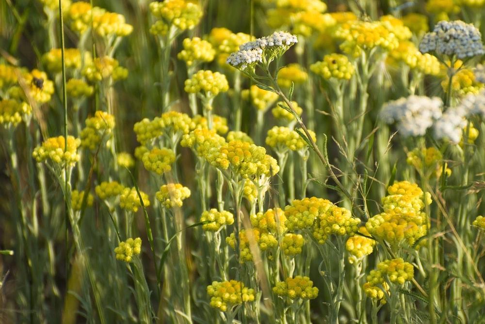Curry Plant(Helichrysum italicum)