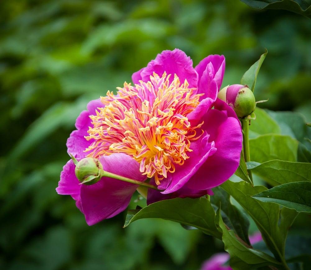 Peony(Paeonia lactiflora 'Do Tell')