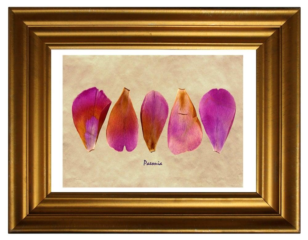 Dried Peony(Paeonia lactiflora 'Do Tell')