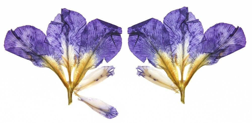 Dried Siberian Iris(Iris sibirica)