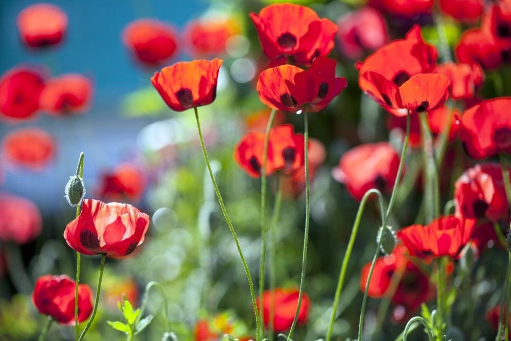 Poppy (Papaver commutatum 'Ladybird')