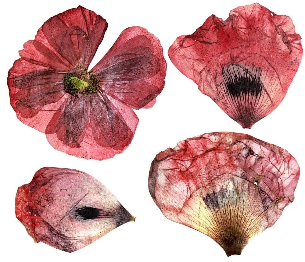 Dried Poppy (Papaver commutatum 'Ladybird')