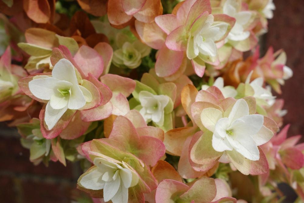 Dried Snowflake (Hydrangea quercifolia)