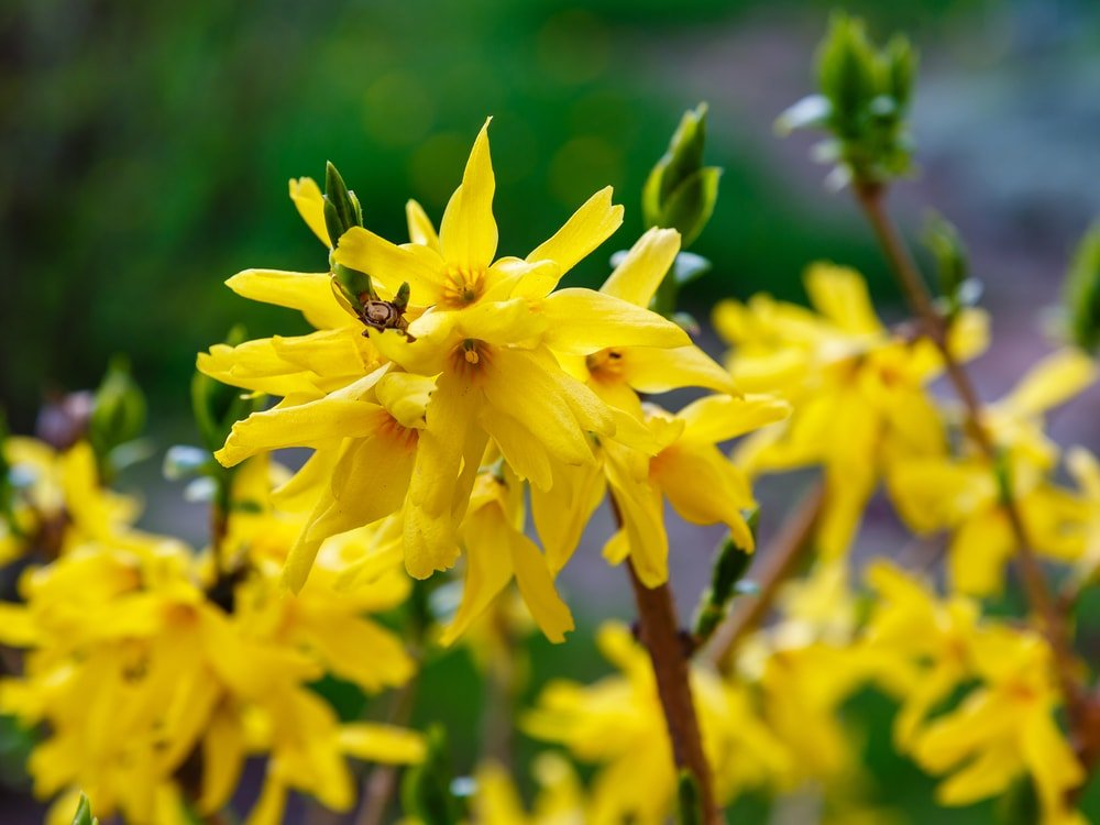 A close look at a cluster of golden forsythia flowers.