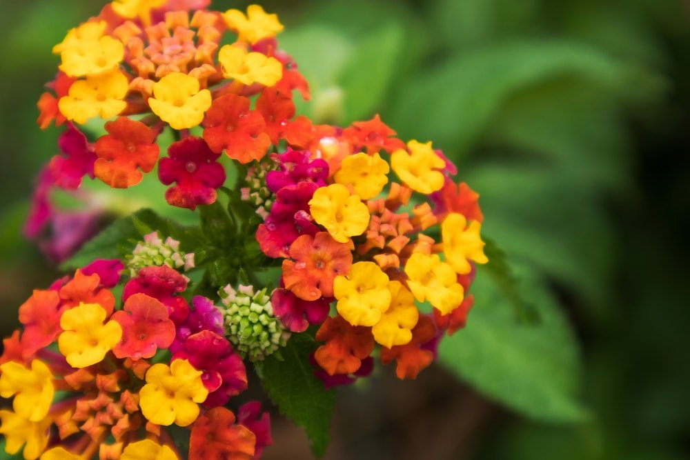 Colorful clusters of Lantana flowers.
