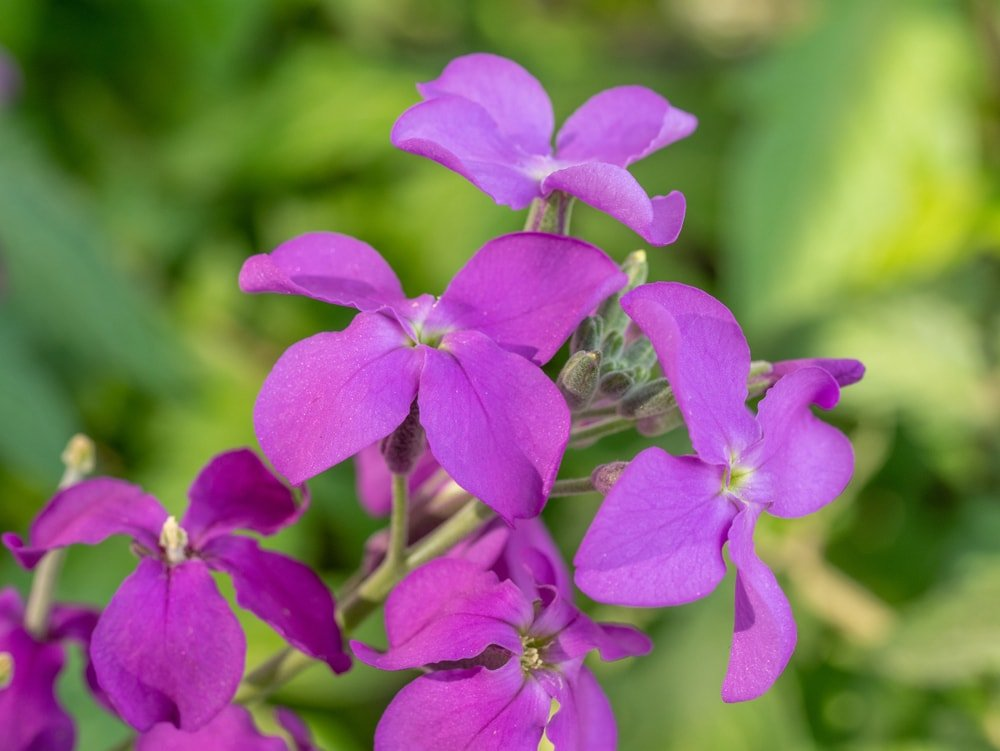 A cluster of lovely purple wallflowers.