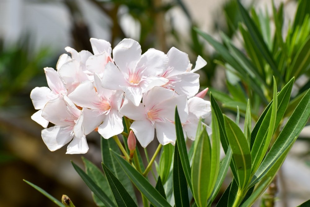 A cluster of pretty white oleander flowers.