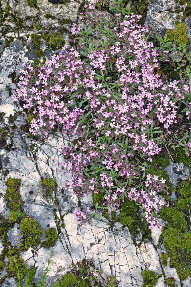 A bush of blooming rock soapwort flowers growing on a rock.