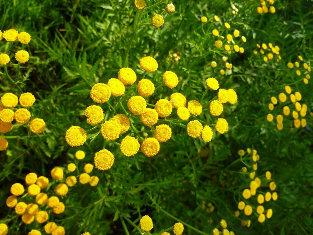 A garden of bright yellow tansy flowers.