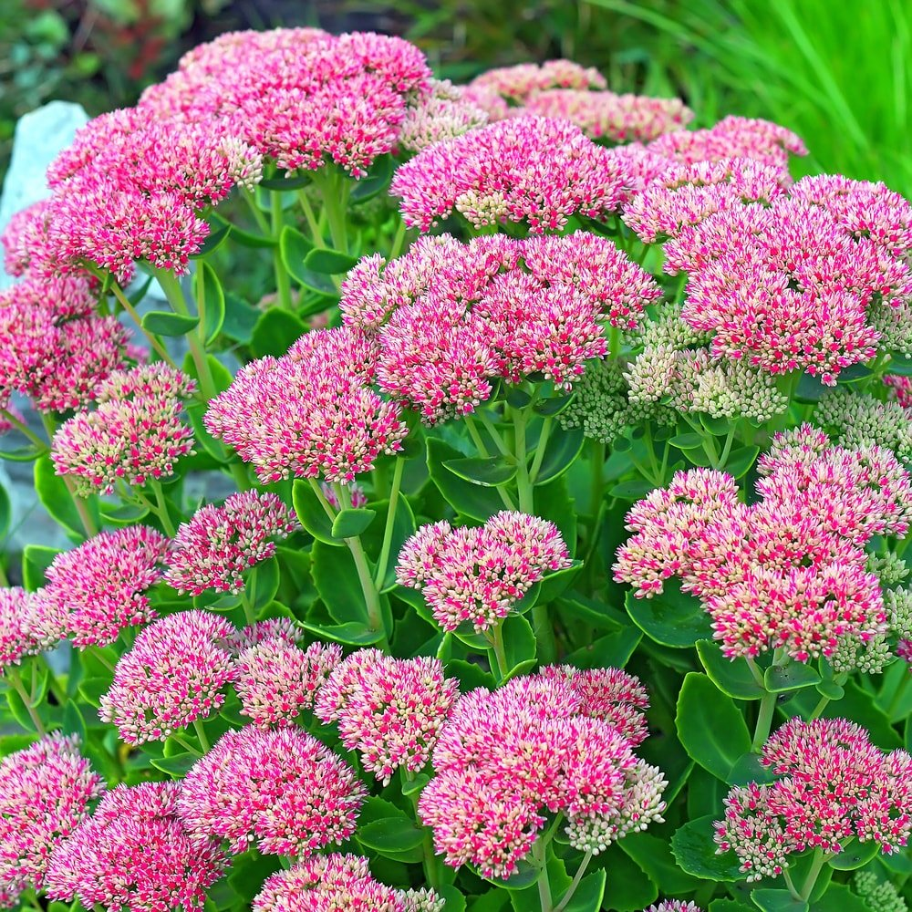 Clusters of colorful stonecrop flowers.