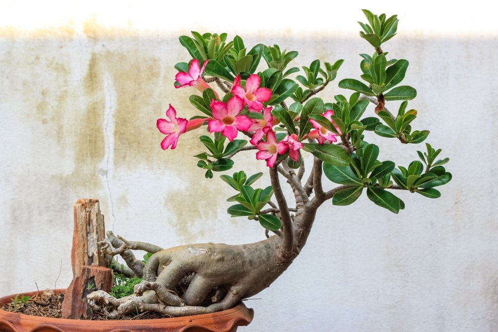 A charming blooming desert rose planted on a pot.